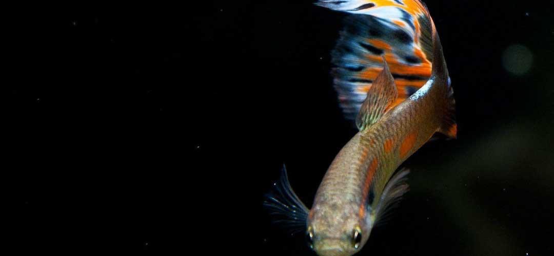 Cara Ternak Ikan Guppy