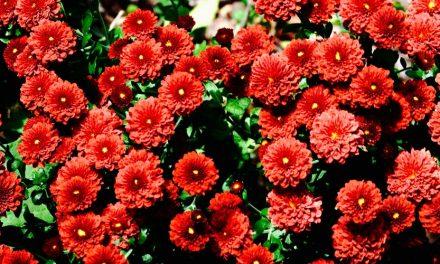 Bunga Yang Cocok Untuk Sahabat