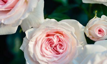 Cantiknya Bunga Yarrow kaya akan Manfaat